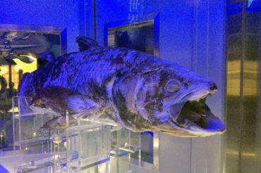 深海の世界を見に行ったら、3億5000万年前と変わらぬ姿のシーラカンスに出会えた!【沼津港深海水族館の見どころ】